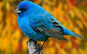 """L'oiseau bleu""....."
